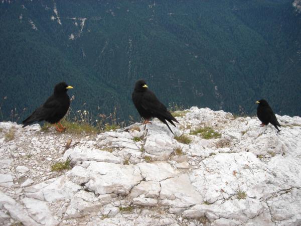 Na vrcholu Punta Fiames hladoví a vlezli havrani...