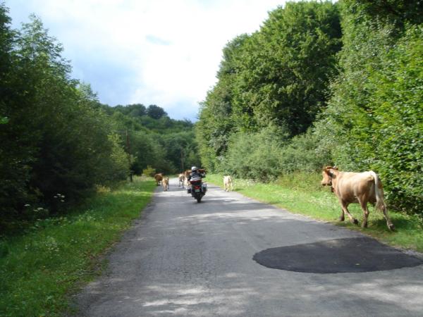 Ty krávy se nás dost bály, ale my jich také.