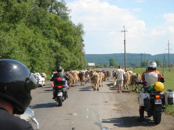 Stádo krav na silnici 1. třídy - nic vyjímečného.