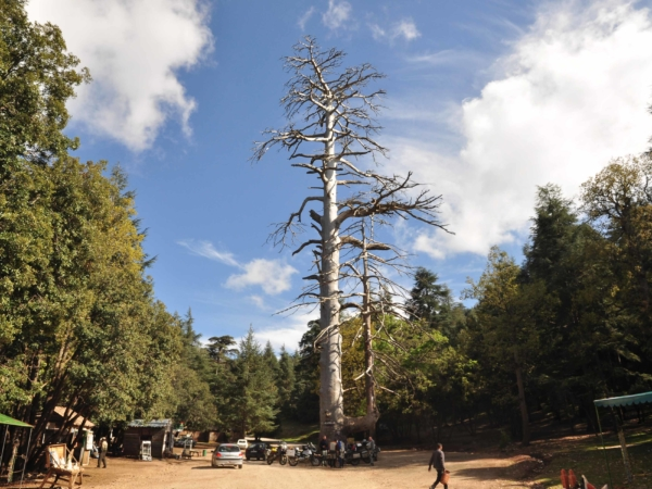 Gouraudův cedr - přes 800 let starý, okolo 40m vysoký, obvod kmene 7,5m.