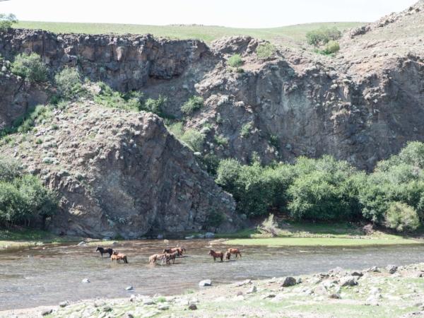 Koně v řece.