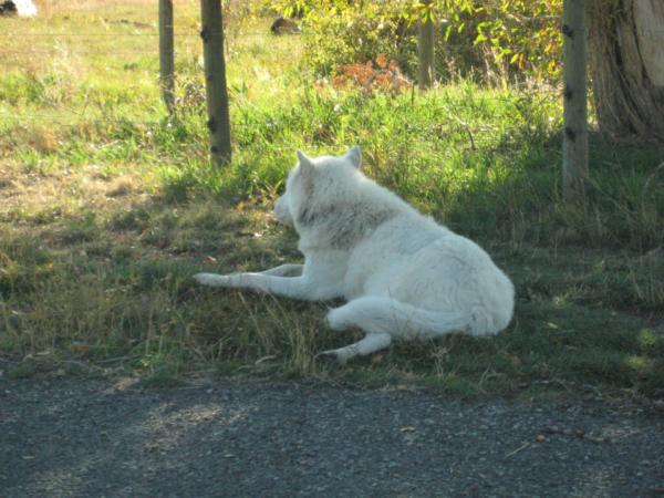 Vlk - asi Bílý tesák.