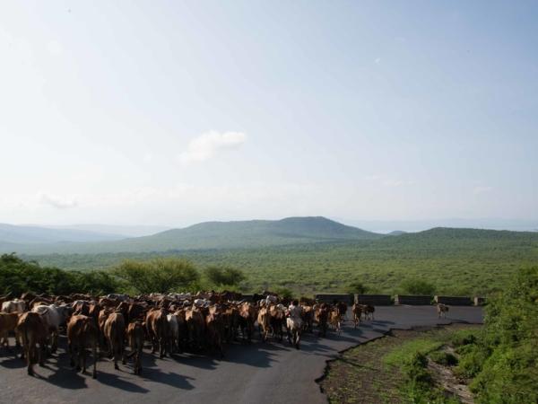 Cestou jsme se stále vyhýbali stádum krav a koz.