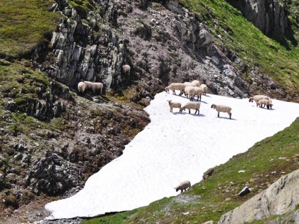 Ovce v Grimselpassu