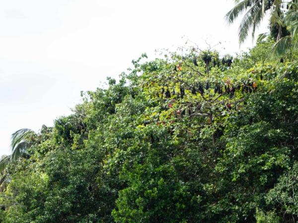 Kaloni spící přes den na stromech.