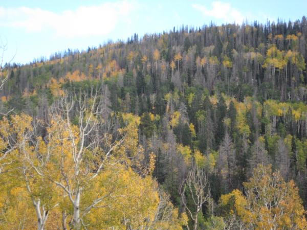Podzim v kopcích pod Cedar Breaks.