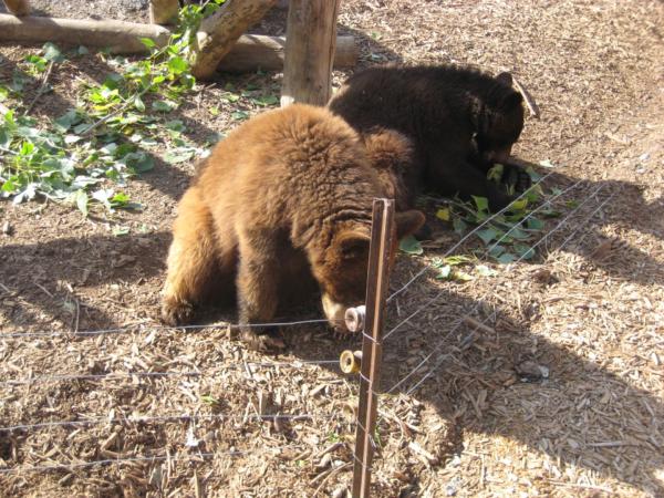 A nejlepší z Bearworlu nakonec -  medvědí mateřská školka