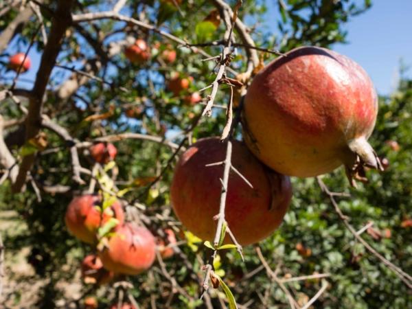 Sad s granátovými jablky - těsně před sklizní.