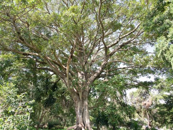 Obrovský strom v areálu hotelu - jako z fiilmu Avatar.