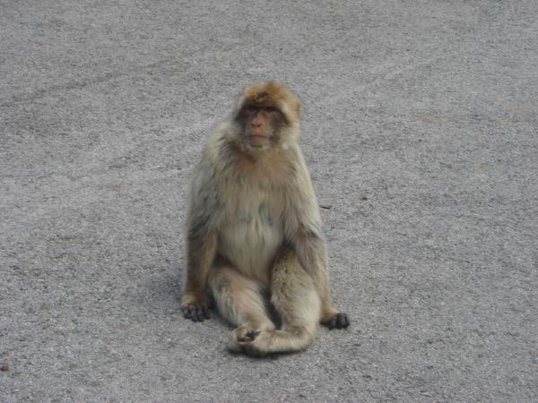 Slavné gibraltarské opice - makakové.