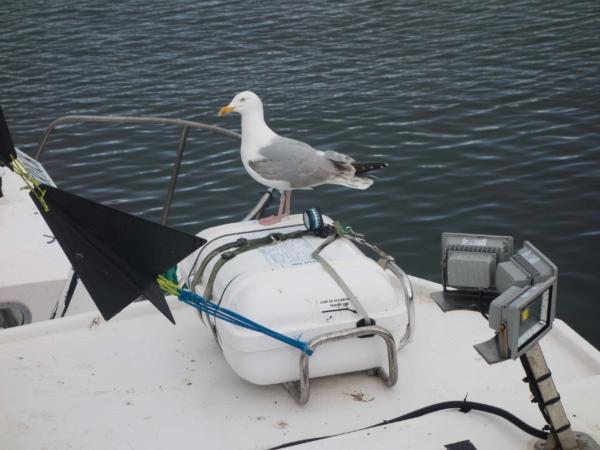 Racek hledající zbytky ryb na rybářské lodi.