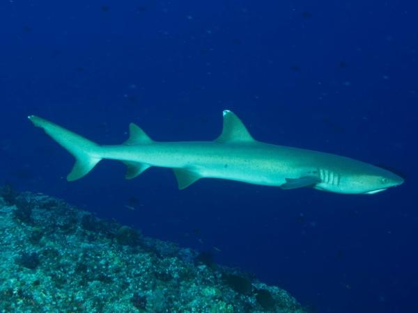 White tip shark.