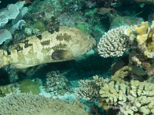 Asi 1 m dlouhý kanic (Grouper) - patrně