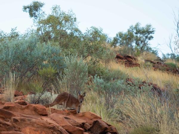 Zato jsme tu viděli našeho prvního australského klokana.