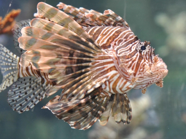 Perutýn - Lion Fish