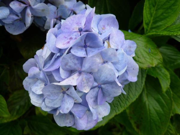 Modré hortenzie -  kvetly ve velkém okolo cesty.