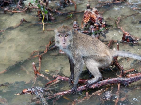 I zde v mangrovech - víceméně na vodě žijí opičky.