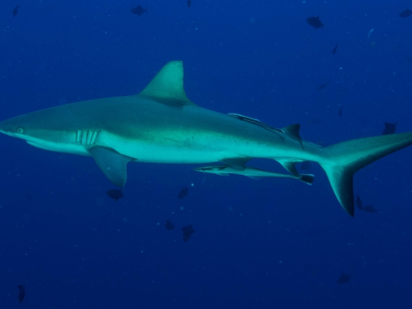 Mohutnější Grey reef shark.