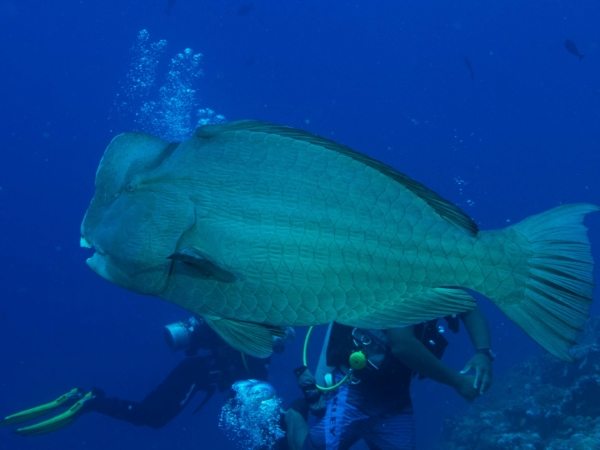 Bumphead Parrotfish - také více jak 1 metr velký.