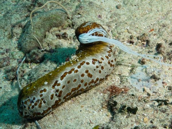 Mořská okurka.