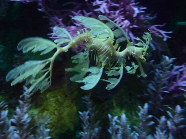 Mořský koník vypadající jako obživlá rostlinka.