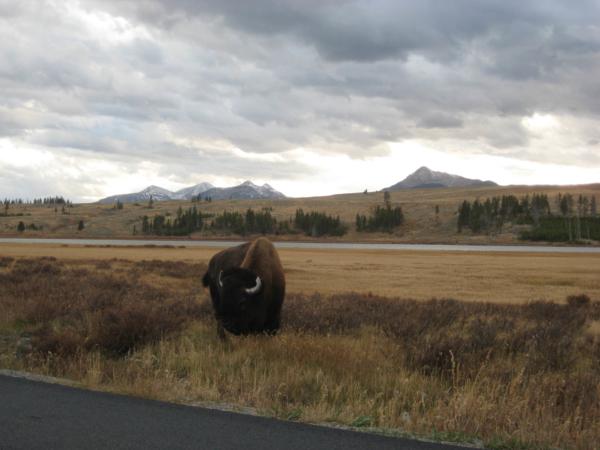 Pasoucí se bizon u cesty...