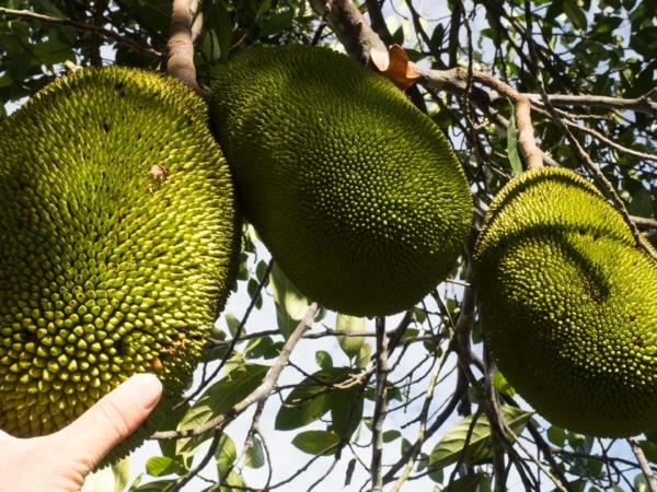 Chlebovník - Jackfruit.