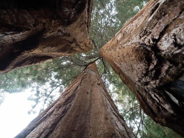 Tři sekvoje, které mají společné kořeny.