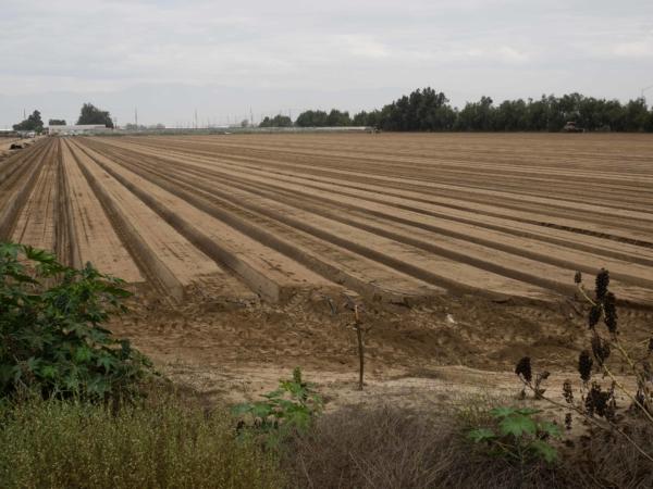 Příprava na intenzivní pěstování jahod.