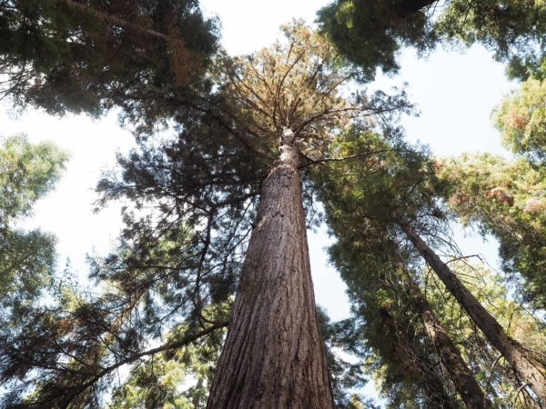 I v Yosemitech je sekvojový háj.