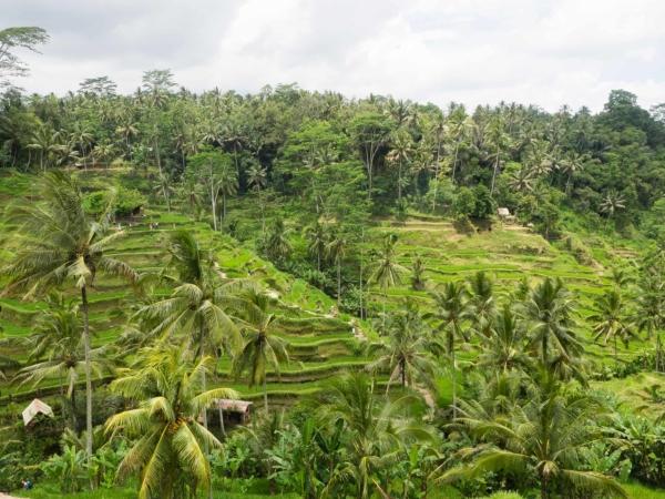 Terasová rýžová pole - asi 10km severně od Ubudu.