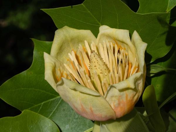 Lilijovník - vyjímečně kvetl.