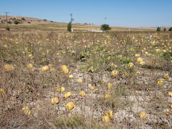 Fascinovaně koukáme na dýňové plantáže cestou do Ihlary.