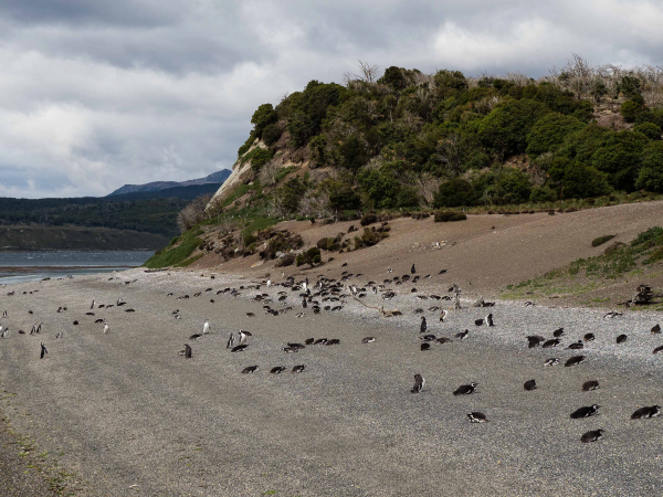 Na ostrově Martillo sídlí kolonie tučňáků většinou Magellanských.